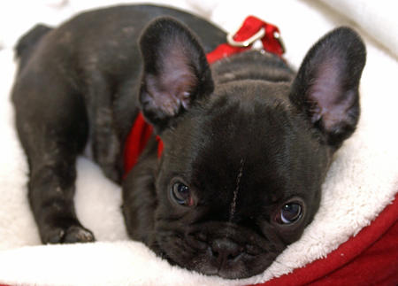 Ruby the French Bulldog Pictures 668582