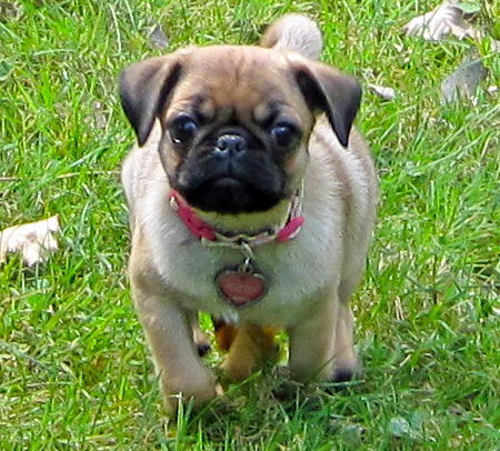 Ruby the Pug Pictures 658136