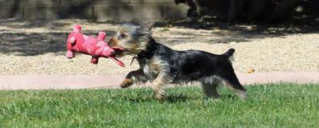 Ruby the Silky Terrier Pictures 690781