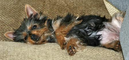 Ruby the Silky Terrier Pictures 690783