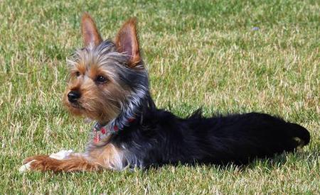 Ruby the Silky Terrier Pictures 690784