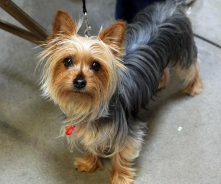 Ruby the Silky Terrier Pictures 690780