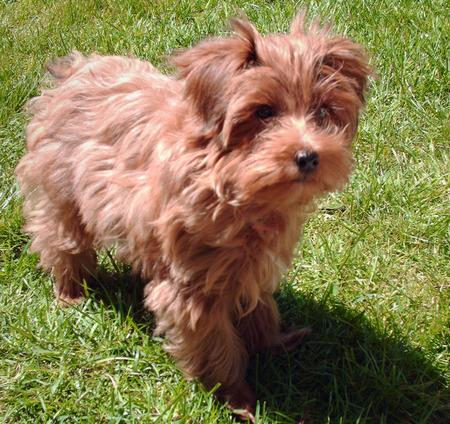 Ruby the Yorkie Mix Pictures 602085