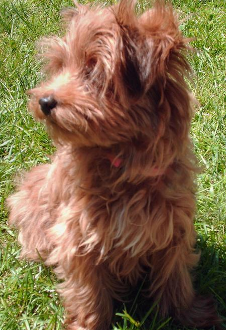 Ruby the Yorkie Mix Pictures 602086