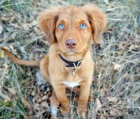 Ruddy the Duck Tolling Retriever Pictures 1049312