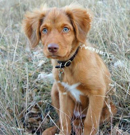 Ruddy the Duck Tolling Retriever Pictures 1049313