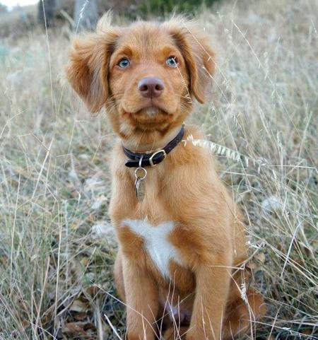 Ruddy the Duck Tolling Retriever Pictures 1049314