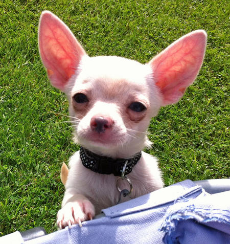 Rudi the Chihuahua Pictures 1017266