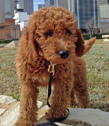 Rudy the Goldendoodle Pictures 957685