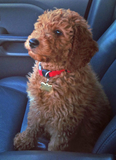 Rudy the Goldendoodle Pictures 957686