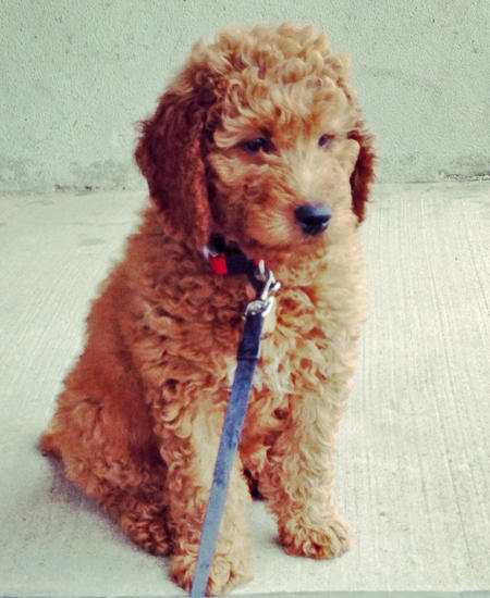 Rudy the Goldendoodle Pictures 957682