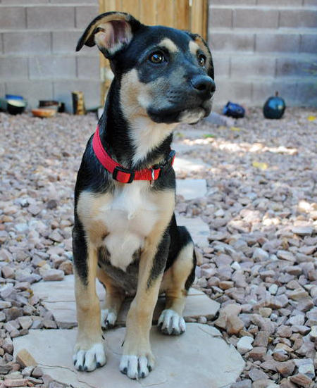 Rue the German Shepherd Mix Pictures 986819
