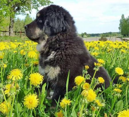 Ruffa the Newfoundland Mix Pictures 778714
