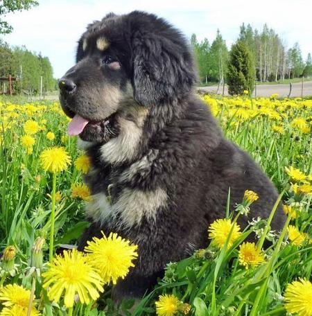 Ruffa the Newfoundland Mix Pictures 778709