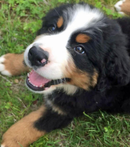 Rufus the Bernese Mountain Dog Pictures 1056405