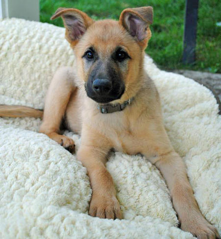 Rugie the Shepherd Mix Pictures 902803