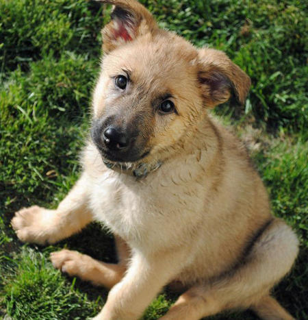Rugie the Shepherd Mix Pictures 902805