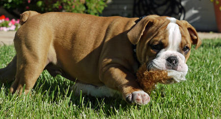 Rusty the Bulldog Pictures 1057311