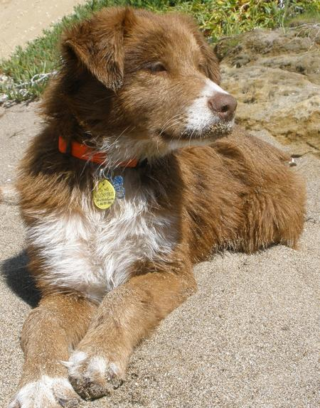 Ryder the Australian Shepherd Mix Pictures 792609