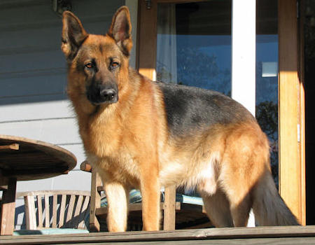 Saber the German Shepherd Pictures 487661