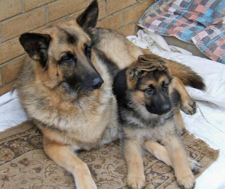 Saber the German Shepherd Pictures 487662