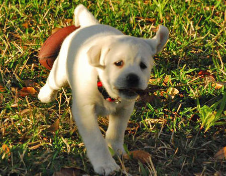 Sadee the Labrador Retriever Pictures 485860