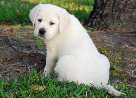 Sadee the Labrador Retriever Pictures 485861