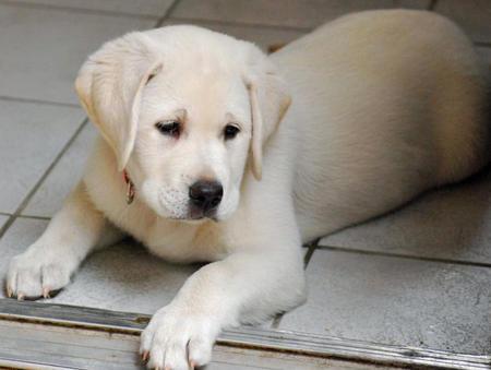 Sadee the Labrador Retriever Pictures 485863