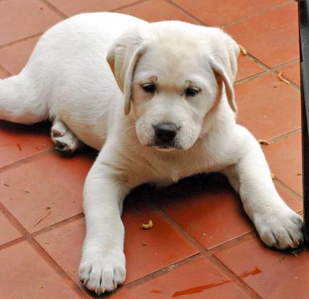 Sadee the Labrador Retriever Pictures 485864