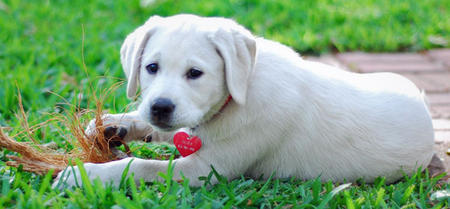 Sadee the Labrador Retriever Pictures 485865