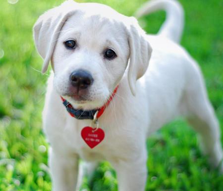 Sadee the Labrador Retriever Pictures 485867