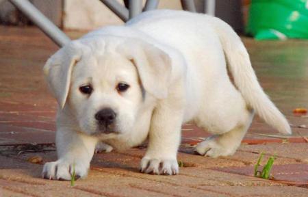 Sadee the Labrador Retriever Pictures 485868