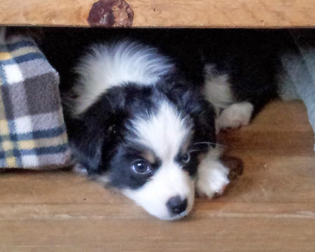 Sadie the Australian Shepherd Pictures 921480