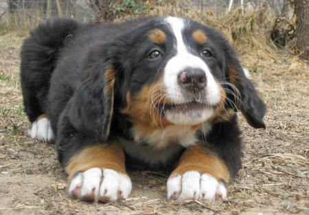 Sadie the Bernese Mountain Dog Pictures 765424