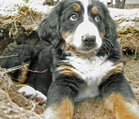 Sadie the Bernese Mountain Dog Pictures 765425