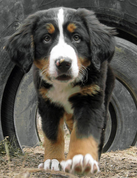 Sadie the Bernese Mountain Dog Pictures 765427