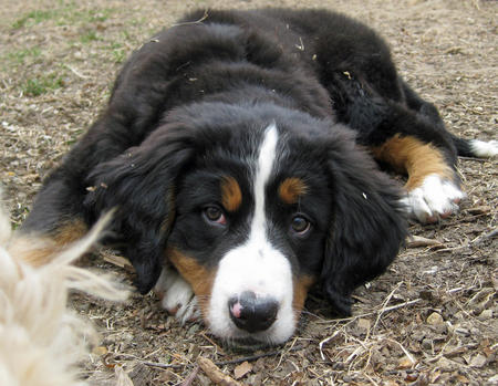 Sadie the Bernese Mountain Dog Pictures 765428