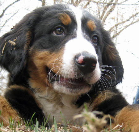 Sadie the Bernese Mountain Dog Pictures 765429