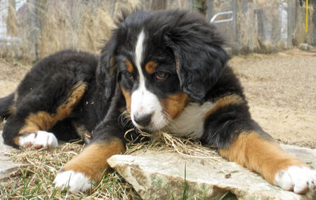 Sadie the Bernese Mountain Dog Pictures 765423