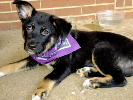Sadie the German Shepherd Mix Pictures 717027