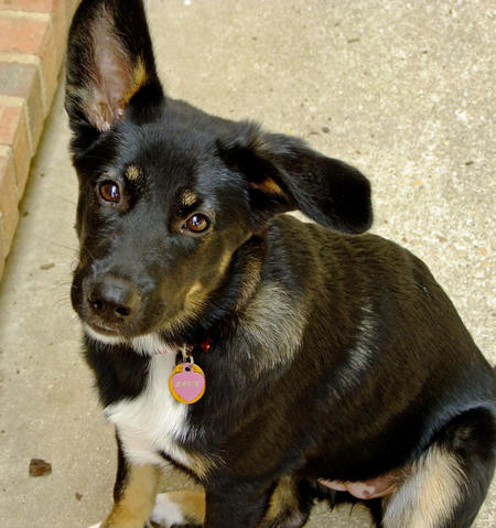 Sadie the German Shepherd Mix Pictures 717030