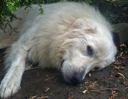 Sadie the Great Pyrenees Pictures 613828