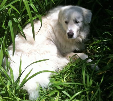 Sadie the Great Pyrenees Pictures 613829
