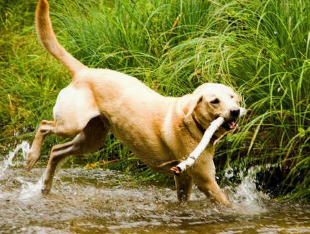 Sadie the Labrador Retriever Pictures 395886