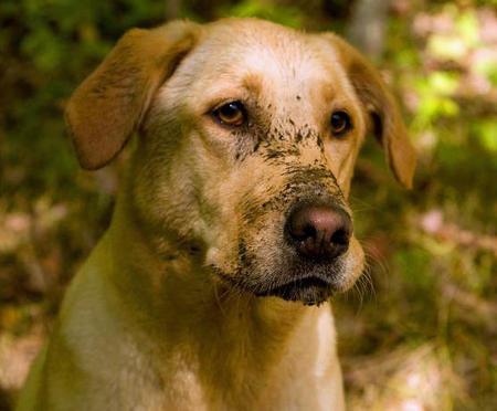 Sadie the Labrador Retriever Pictures 395890