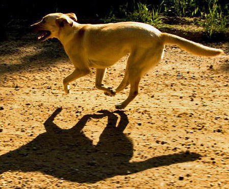 Sadie the Labrador Retriever Pictures 395885