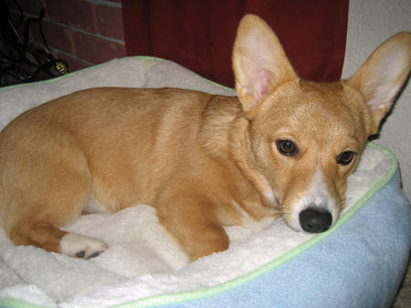 Sadie the Pembroke Welsh Corgi Pictures 482828