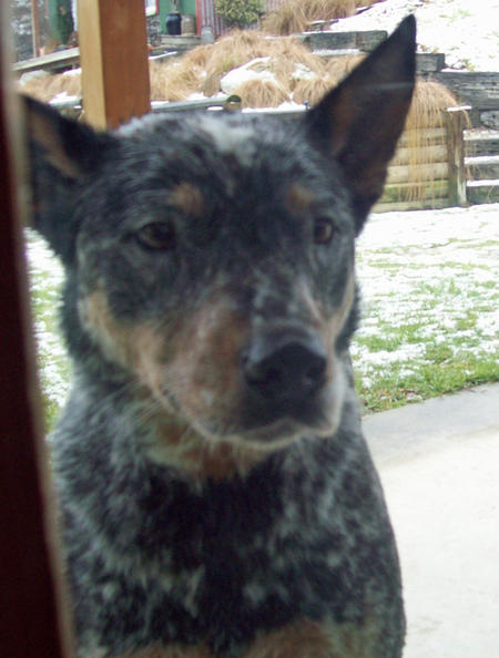 Saffy the Cattle Dog Mix Pictures 913181