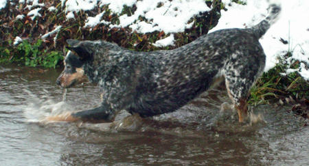 Saffy the Cattle Dog Mix Pictures 913182