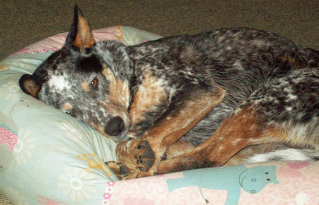 Saffy the Cattle Dog Mix Pictures 913183